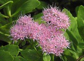9月5日の誕生花は「ベンケイソウ」