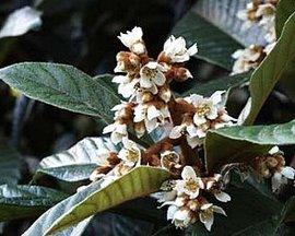 12月9日の誕生花は「ビワ」
