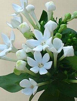12月26日の誕生花「白いブバルディア」