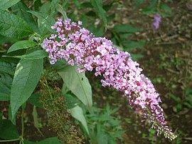9月13日の誕生花は「ブッドレア」