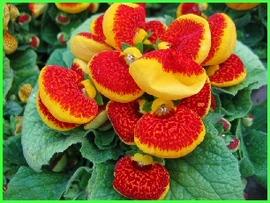 1月30日の誕生花は「カルセオラリア」