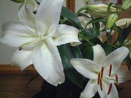 11月6日の誕生花「カサブランカ」