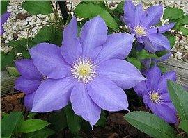 5月9日の誕生花は「クレマチス」