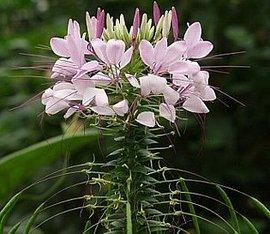 8月8日の誕生花は「クレオメ」