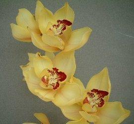 1月22日の誕生花は「シンビジウム」