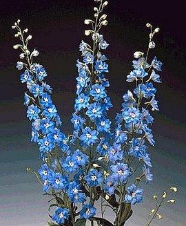 5月20日の誕生花は「デルフィニウム」