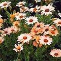 4月7日の誕生花は「ディモルフォセカ」