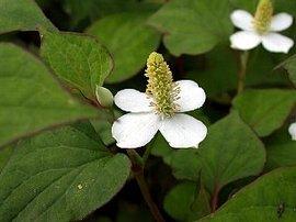 5月15日の誕生花は「ドクダミ」