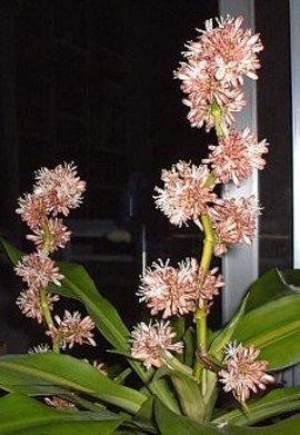 12月1日の誕生花「ドラセナ」