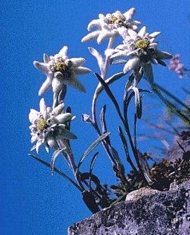 8月18日の誕生花は「エーデルワイス」
