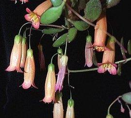 12月16日の誕生花は「エンゼルランプ」