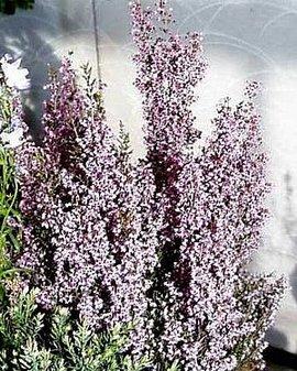 12月5日の誕生花は「アワユキエリカ」