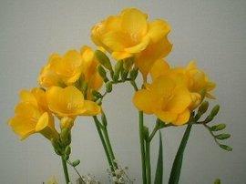 12月17日の誕生花「フリージア」