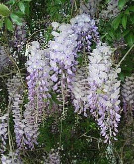 4月29日の誕生花は「フジ」