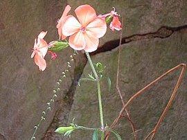 9月14日の誕生花は「フシグロセンノウ」