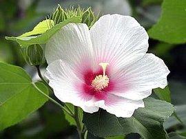 8月25日の誕生花は「フヨウ」