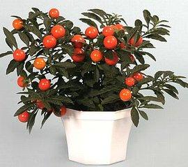 12月10日の誕生花は「フユサンゴ」