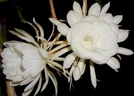 9月29日の誕生花は「ゲッカビジン」