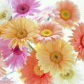 9月27日の誕生花は「ガーベラ」