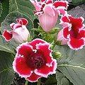 7月10日の誕生花は「グロキシニア」