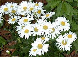 11月4日の誕生花は「ハマギク」