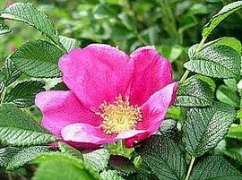 6月5日の誕生花は「ハマナス」