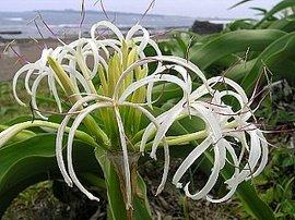 7月17日の誕生花は「ハマユウ」