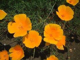 4月17日の誕生花は「ハナビシソウ」