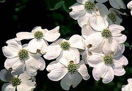 4月23日の誕生花は「ハナミズキ」