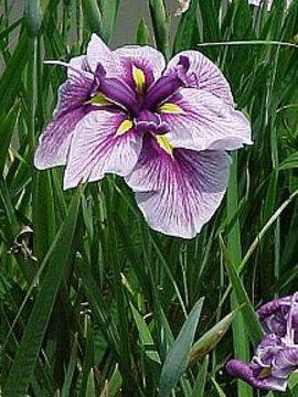 5月5日の誕生花は「ハナショウブ」