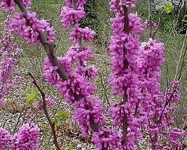 3月16日の誕生花は「ハナズオウ」
