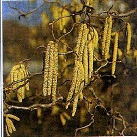 10月6日の誕生花は「ハシバミ」