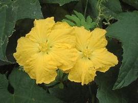 8月10日の誕生花は「ヘチマ」