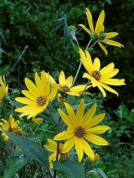 10月15日の誕生花は「ヘリアンサス」
