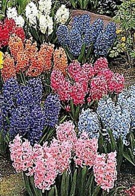 3月27日の誕生花は「ヒアシンス」
