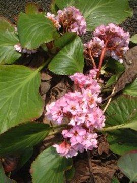 3月23日の誕生花は「ヒマラヤユキノシタ」