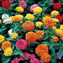 7月26日の誕生花は「ヒャクニチソウ」