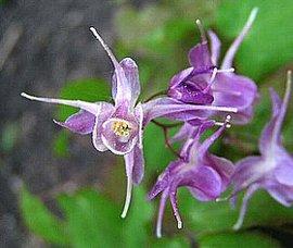 3月13日の誕生花は「イカリソウ」