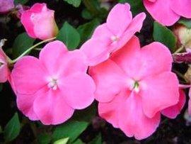 7月25日の誕生花は「インパチェンス」