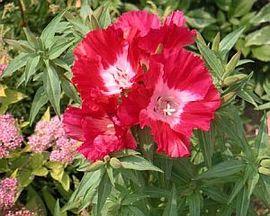 6月4日の誕生花は「イロマツヨイグサ」