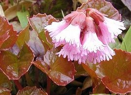 6月7日の誕生花は「イワカガミ」
