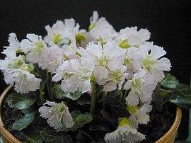 3月18日の誕生花は「イワウチワ」