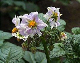 5月17日の誕生花は「ジャガイモ」