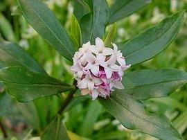 2月23日の誕生花は「ジンチョウゲ」
