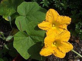 7月31日の誕生花は「カボチャ」