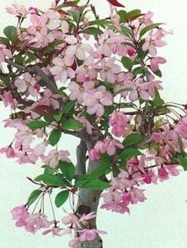 4月5日の誕生花は「カイドウ」