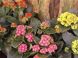 2月25日の誕生花は「カランコエ」