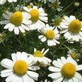 2月14日の誕生花は「カミツレ」