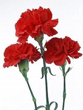 5月10日の誕生花は「カーネーション」