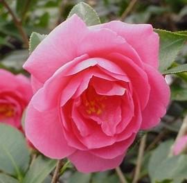 12月8日の誕生花は「カンツバキ」